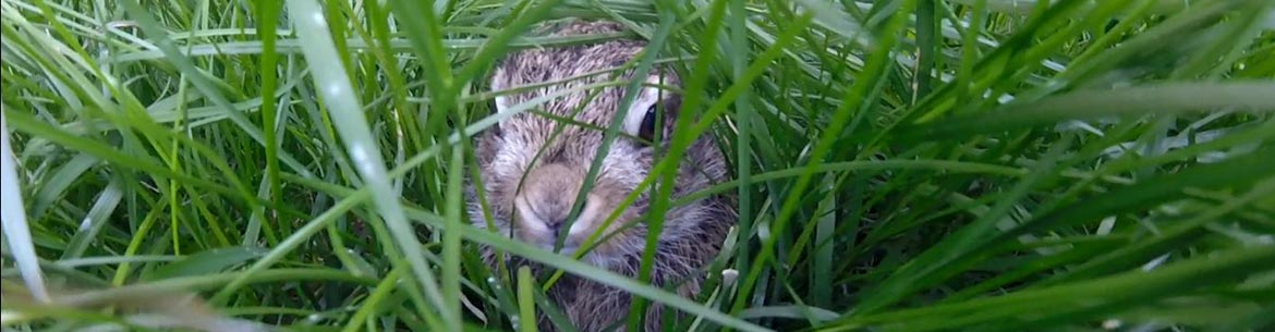 Baby bunny hiding in the grass (Photo courtesy Travis Muir)
