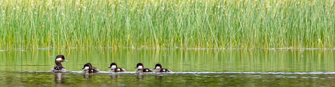 Bufflehead Female with Ducklings (Photo by River Run Photography)