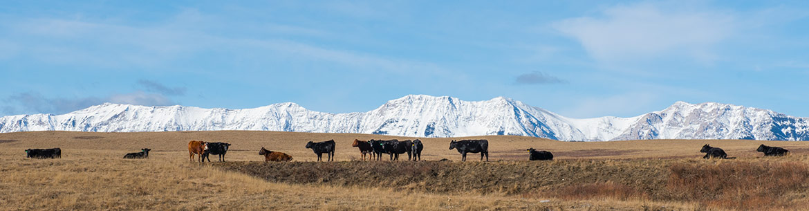 Cows on the Waldron Ranch (Photo by NCC)