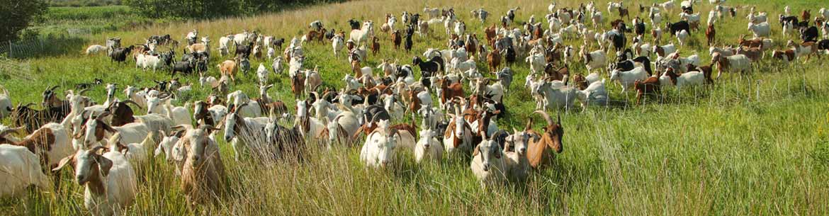 Baah'd Plant Management & Reclamation goats (Photo by NCC)