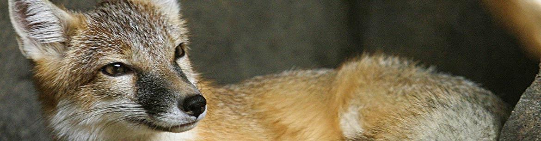 Swift fox (Photo by Cburnett)