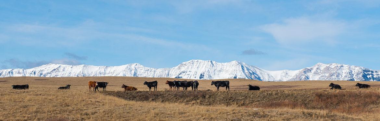 Troupeau de vaches. Ranch Waldron, Alberta (Photo de CNC)