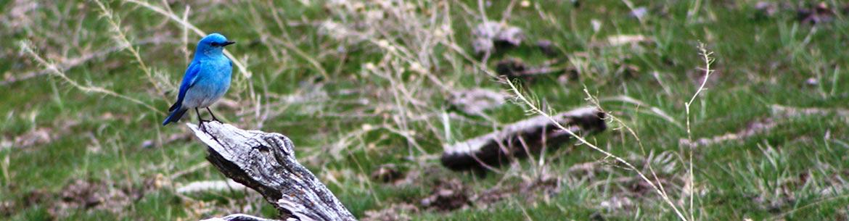 Mountain bluebird (Photo by Kate Tucker)