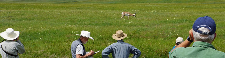 Pronghorn, LIC Grasslands Tour 2013, AB (photo by NCC)