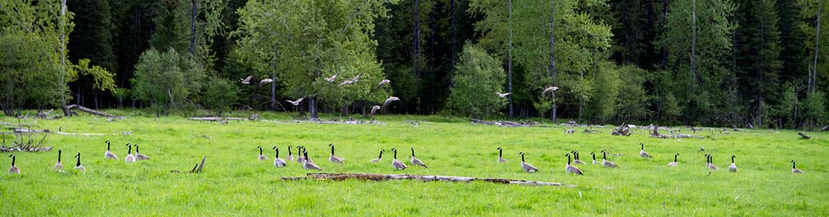 Canada geese gather on Morrissey Meadows (Photo by Steve Ogle)