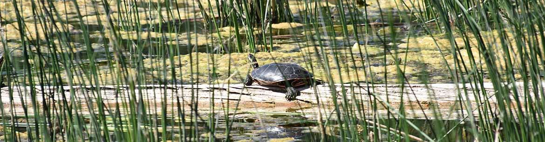 Western painted turtle spotted at Lac du Bois (Photo by Cheyenne Bergenhenegouwen, BCWF Wetlands Workforce)