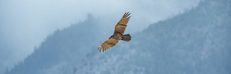 Turkey vulture flying over Gates Creek (Photo by Fernando Lessa)