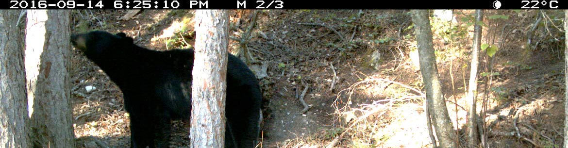 Black bear caught on a remote camera in BC (Photo by NCC)