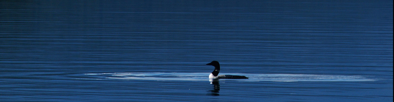 Loon at Tatlayoko, BC (Photo by Tim Ennis/NCC)