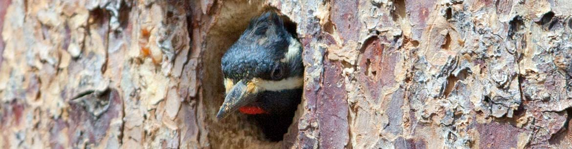 Williamson's sapsucker looks out of its nest hole (Photo by Marcel Holyoak)