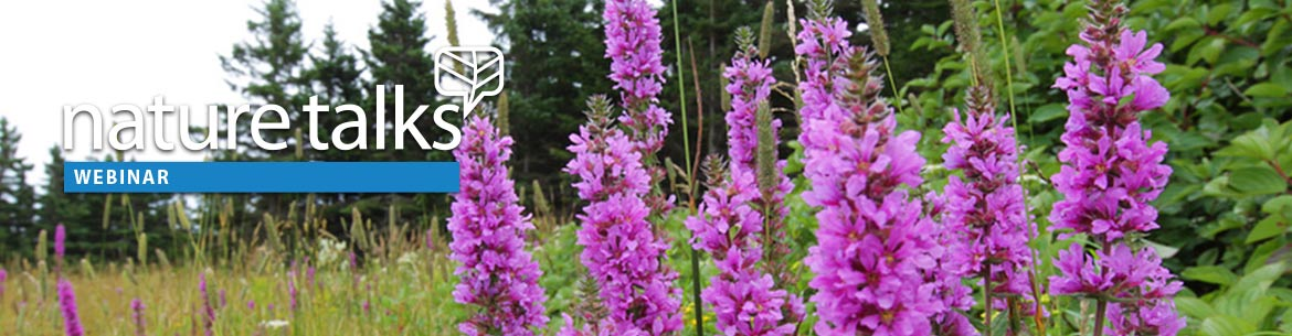 Invasive purple lossestrife in Pointe_Verte-Pierre QC; Photo by Mike Dembeck