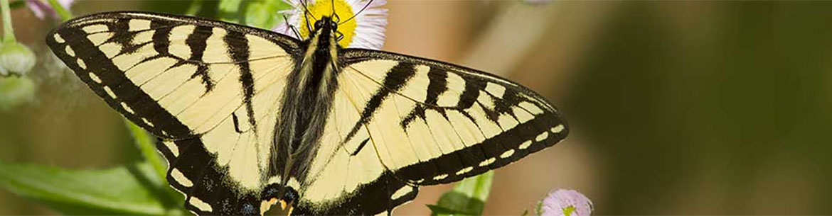 Canadian tiger swallowtail (Photo by Mircea Costina)