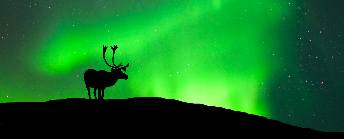 Caribou and northern lights (Photo by Wayne Lynch)