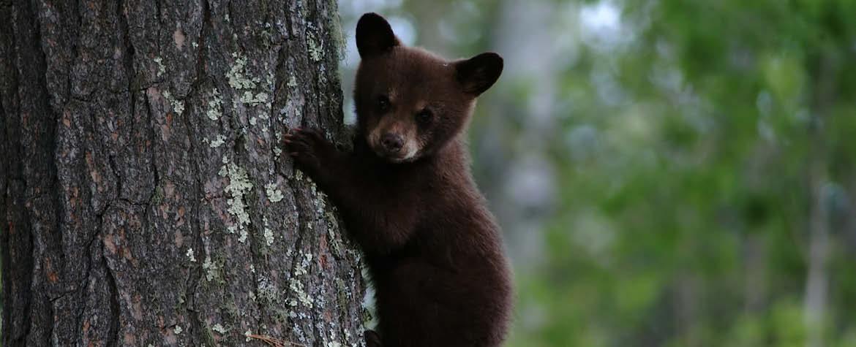 Bear (Photo by Tony Campbell)