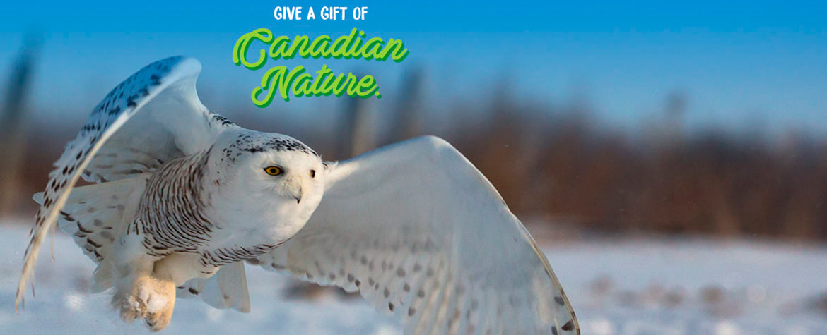 Snowy owl (Photo from Shutterstock)
