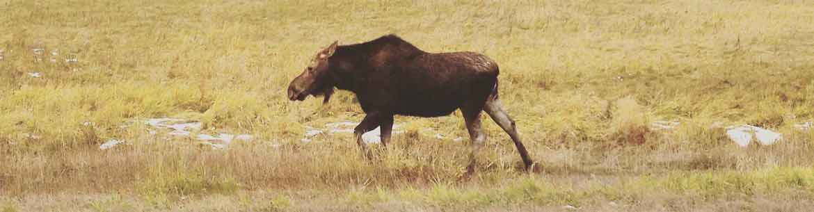 Moose in Riding Mountain (Photo by NCC)