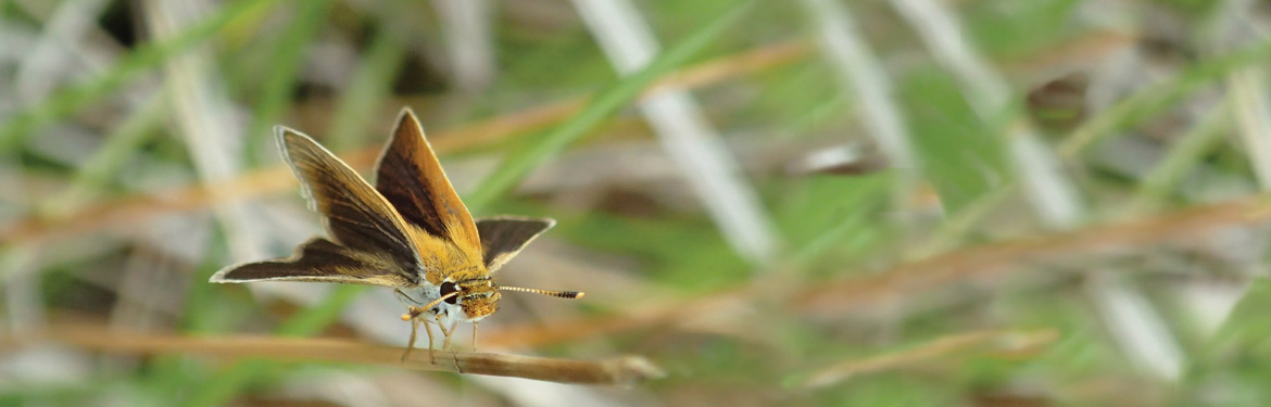 Poweshiek skipperling (Photo by Rachel Caro)