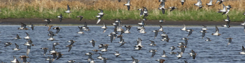 Shorebird Flock in Flight (Photo by C. Artuso)