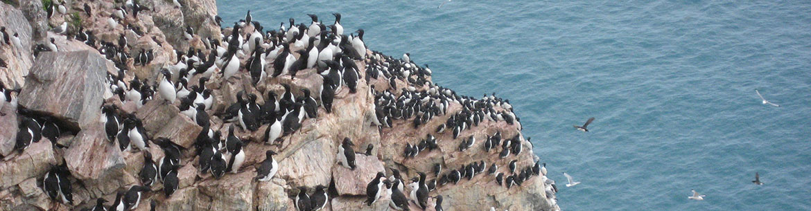 Thick-billed murre and black-legged kittiwake bird colony on Cape Graham Moore, Bylot Island, NU (Photo by Christie MacDonald/NCC staff)