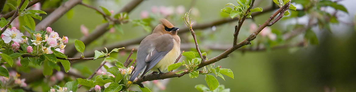 Cedar waxwing (Photo by Bill Caulfeild Browne)