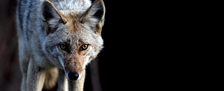Coyote (Photo by Thomas Drasdauskis)