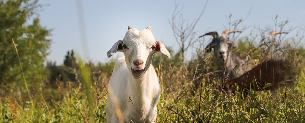 Goat (Photo by NCC)