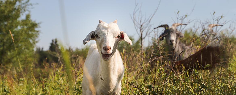 Chèvre (Photo de CNC)