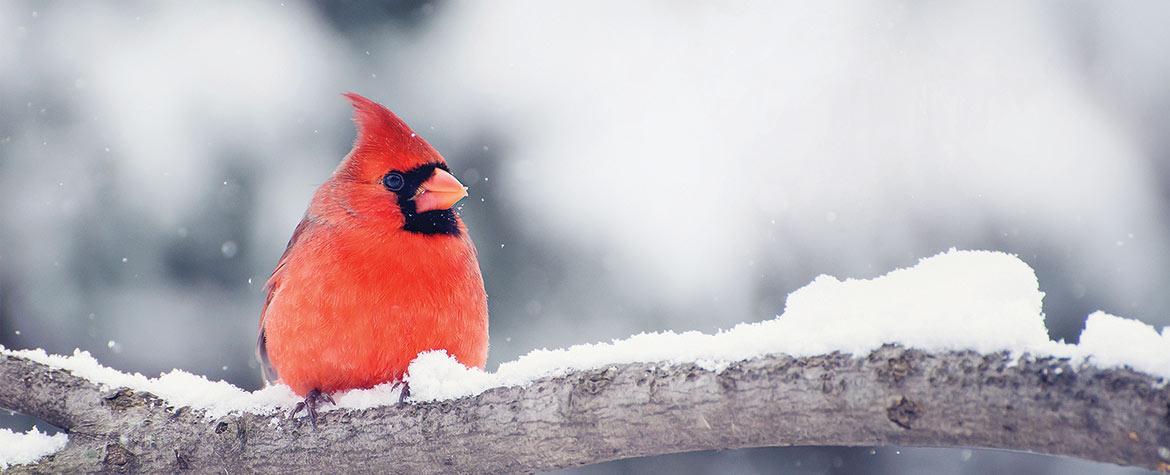 Red cardinal (Photo by iStock, Bubblegirl)
