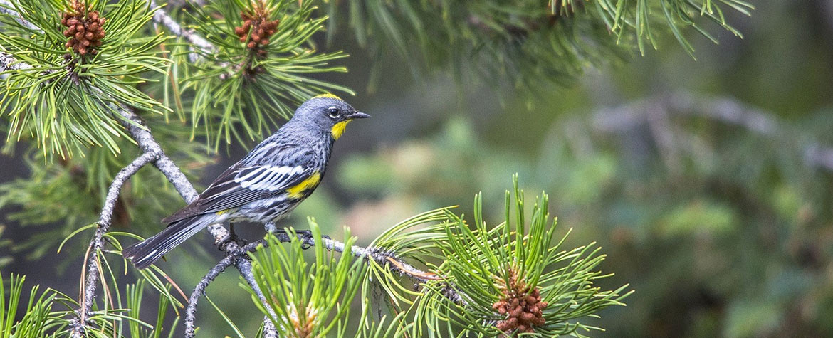 Yellow-rumped warbler (Photo by Pixabay)