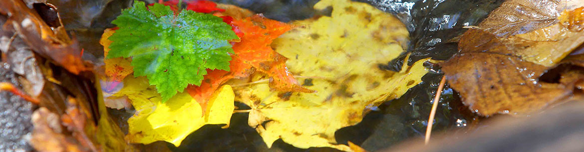 Maple leaves (Photo by NCC)