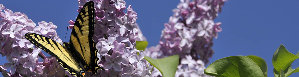 Butterfly in the lilac, Frolek Ranch, BC (Photo by NCC)