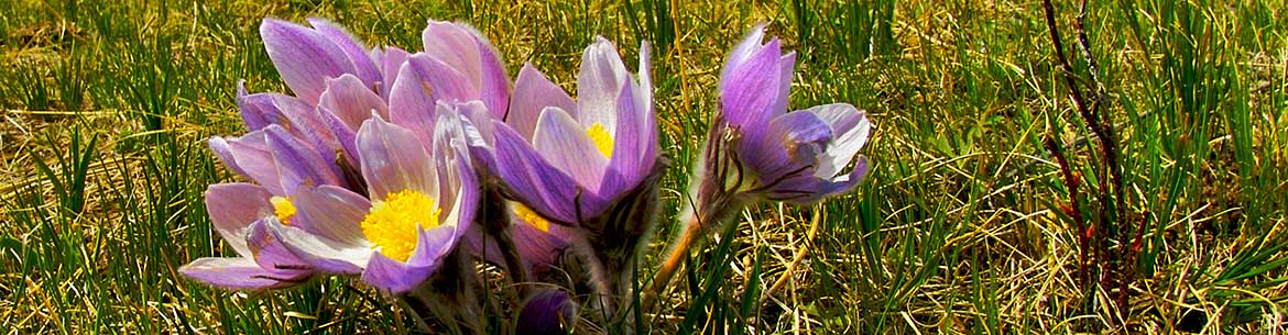 Crocus and mountains, AB (Photo by Karol Dabbs)