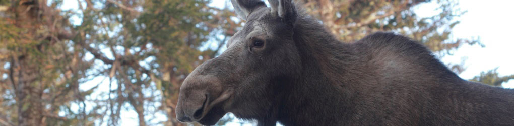 Moose is an endangered species in mainland Nova Scotia with less than 1,000 individuals (Photo by Mike Dembeck)