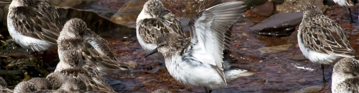 Semipalmated sandpiper, Johnson's Mills, NB (Photo by NCC)