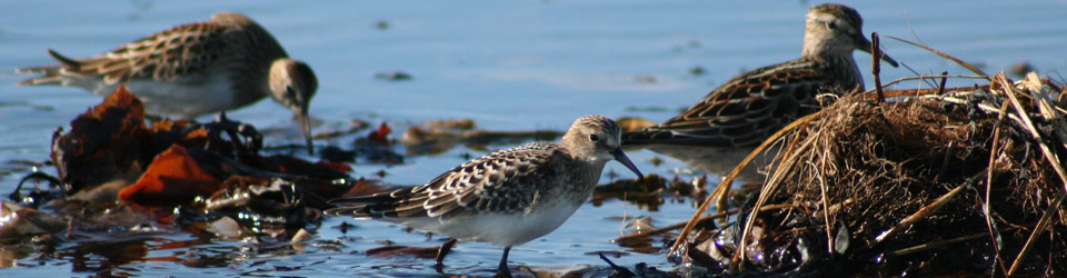 Baird sandpipers with two pectoral sandpipers, NS (Photo by June Swift)
