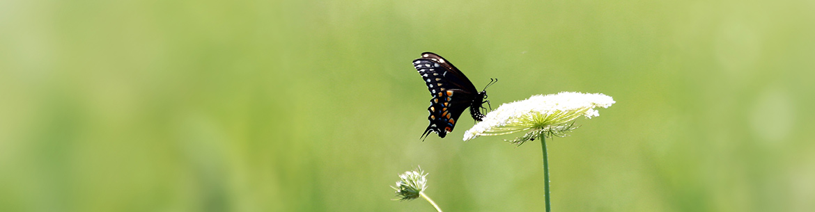 Black swallowtail, butterfly count, Rice Lake Plains, ON (Photo by NCC)
