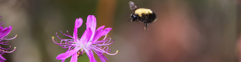 Bumblebee landing on rhodora flower, ON (Photo by Mike Dembeck)