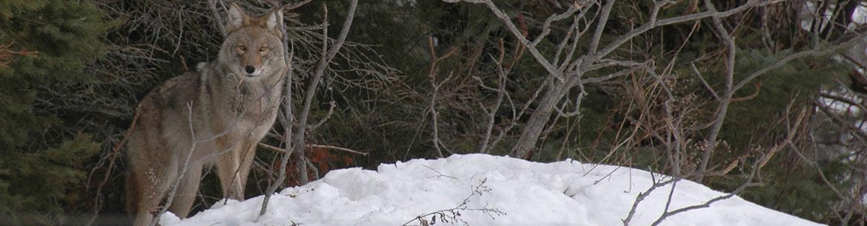 Coyote-wolf hybrid, Carden Alvar, ON (Photo by Bill Macintyre)