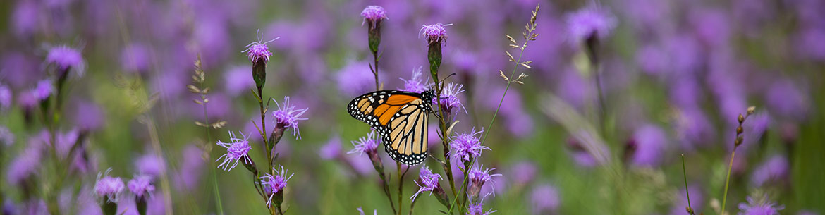 Monarch butterfly at Red Cloud School Road, ON (Photo by Cameron Curran)