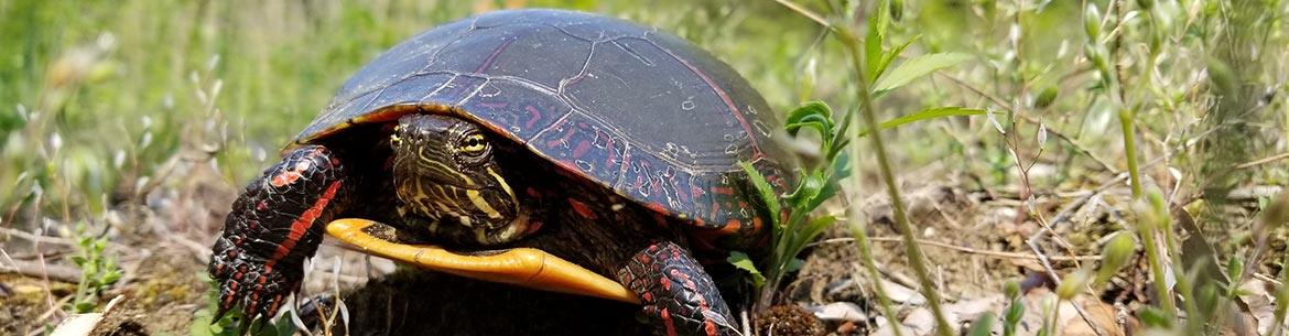 Painted turtle. Photo by Cameron Curran