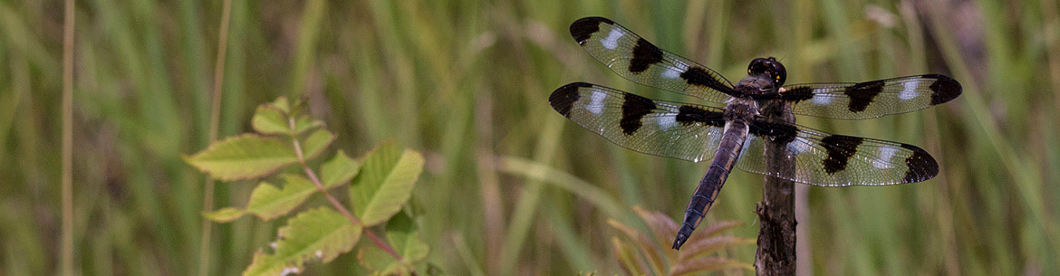 Twelve-spotted skimmer, MacMillan Nature Reserve, ON (Photo by Wilson Chow)