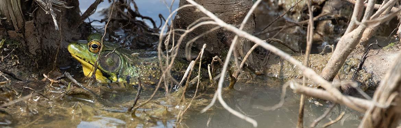 Greenfrog, Pelee Isalnd, ON (Photo by Mhairi McFarlane)