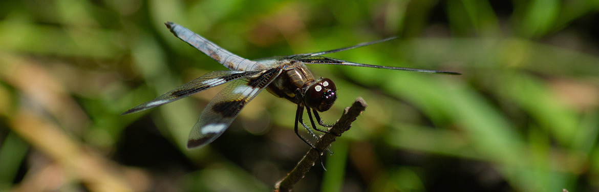Twelve-spotted skimmer, dragonfly count, Minesing Wetlands, ON (Photo by NCC)