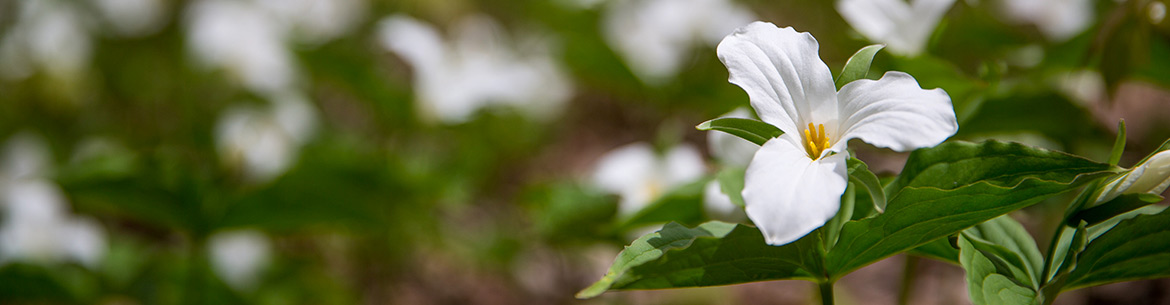 White trilliums, Happy Valley Forest, ON (Photo by NCC)