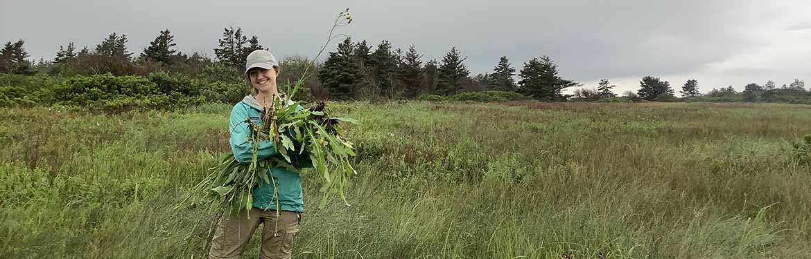 Pulling invasive perennial sow-thistle (Photo by NCC)