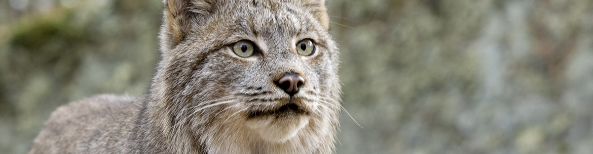Canada Lynx (Photo by Outdoorsman)