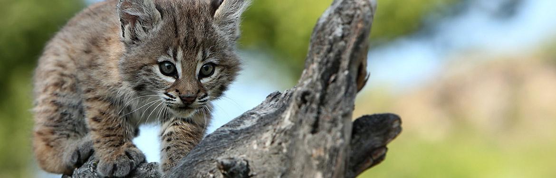 Lynx du Canada (Photo de Chris Lorenz)