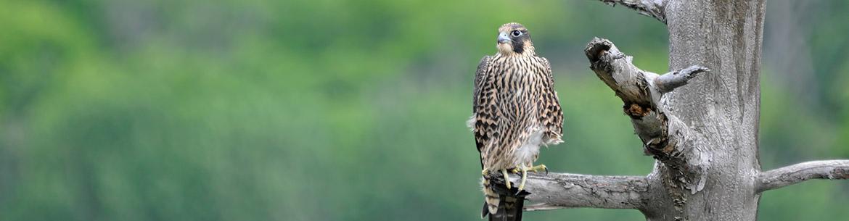 Peregrine falcon (Photo by Jean-François Plouffe)