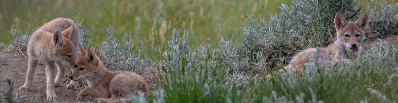Jeunes coyotes, Propriété Zen-Ridge, Sask.