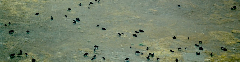 Bisons lors d'une activité de surveillance aérienne des terres conservées par CNC, Aire de conservation des prairies patrimoniales Old Man on His Back, Sask. (Photo de CNC)